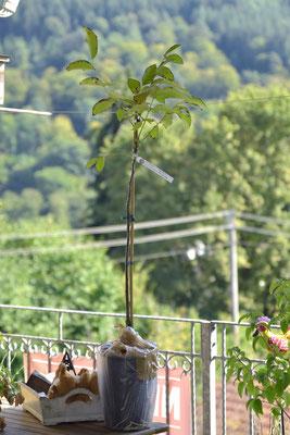 Walnussbaum der Sorte Franquette
