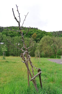 """Das Ende einer """"Ausgleichsmaßnahme"""". Neu gepflanze Obstbäume benötigen ein Mindestmaß an Pflege, das ist ein jährlicher Schnitt, Bewässerung bei Trockenheit, freihalten der Baumscheibe von Bewuchs und evtl. etwas Dünger"""