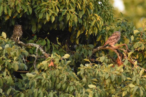 Der Steinkauz ist auf alte Obstbäume angewiesen. Nur in alten Bäumen bilden sich Hohlräume, die er zur Jungenaufzucht nutzen kann