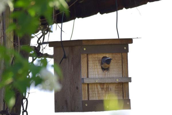 Ein Gartenrotschwanz hat sich einen hier bei LeO vorgestellten Nistkasten als Heimstätte ausgesucht