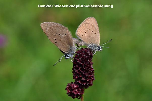 Dunkler Wiesenknopf-Ameisenbläuling