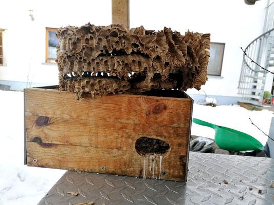 Auch der Mauerseglerkasten wurde von den Hornissen genutzt