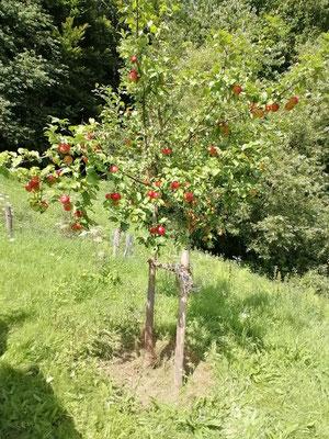 """Ein """"Berner Rosenapfel"""" im 7. Standjahr. Damit die Früchte größer werden, muss ausgedünnt werden."""