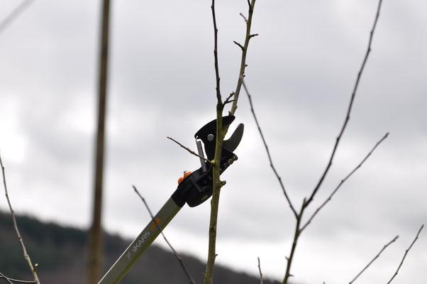 Bei Jungbäumen müssen die Konkurrenztriebe zu der Stammverlägerung konsequent zurückgeschnitten werden. Werden Doppelspitzen nicht entfernt, bricht der Baum im Alter auseinander.