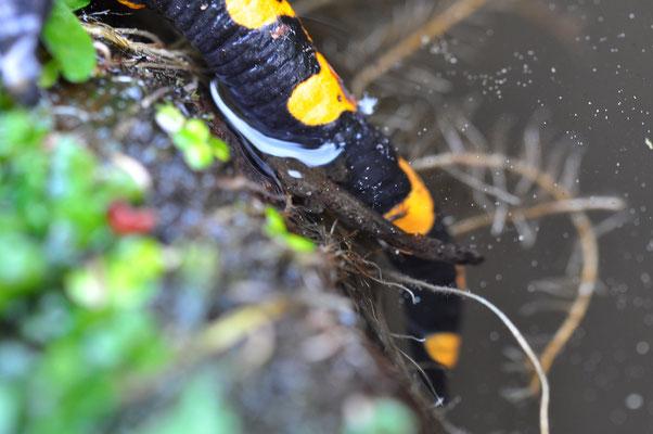 Salamanderweibchen beim Ablaichen