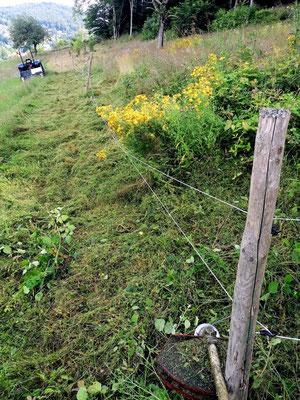 Das Mähen am und unter Weidezäunen wird of vernachlässigt. Nach nur zwei oder drei Jahren ohne Pflege, ist der Zaun von Brombeeren überwuchert.