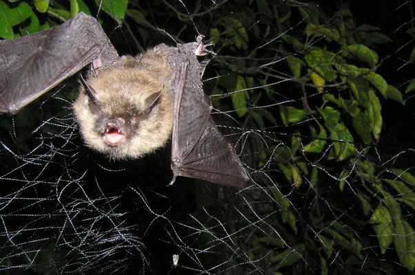 Kleine Bartfledermaus. Photo Dr. U. Weinhold