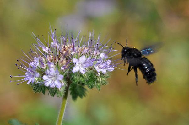 Blau Holzbiene in Heiligkreuzsteinach