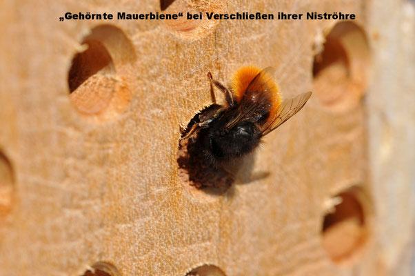 """""""Gehörnte Mauerbiene"""" bei Verschließen ihrer Niströhre"""