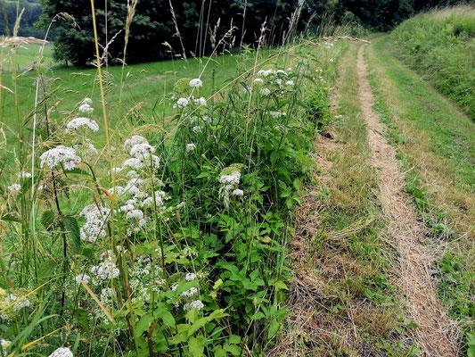 Auch Wegränder sollten einmal im Spätjahr (nach der Blüte der Wildblumen) gemäht werden, damit keine Brombeerverhaue und Baumschößlinge hochkommen.