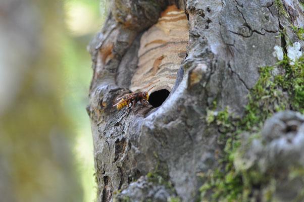 Typisches Nisthabitat für ein Hornissenvolk. Ein hohler Apfelbaum. Ist der Einflug zu groß, wir er verkleinert.