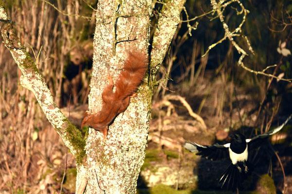 Das Eichhörnchen ist ein Nesträuber ...