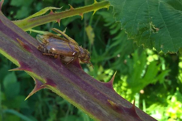 Ein vom Neuntöter aufgespießter Käfer