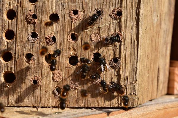 Schwärmende Mauerbienenmännchen