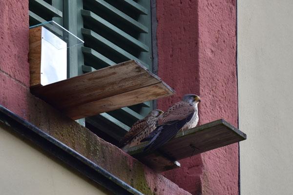 Die Falkeneltern machen eine kurze Pause