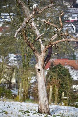 Vor ca. 10 Jahren abgestorbener Apfelbaum, dient jetzt als Nistplatz für Vögel und Insekten