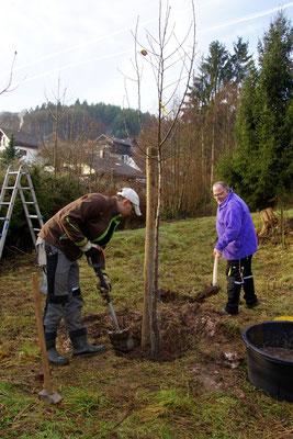 Jungbäume müssen permanent nachgepflanzt werden, um eine gleichmäßige Verteilung der Altersstruktur der Bäume zu erreichen