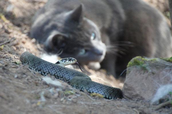 Großes Ringelnatterweibchen. Die Katze hält respektvoll Abstand