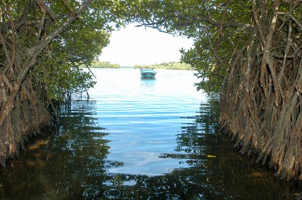 Mangroven Entdeckung mit dem Boot.