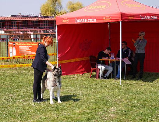 American Akita. Dog Show Bogatich