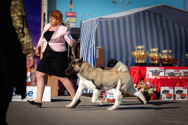 AMERICAN AKITA INDEVOR CENTER OF ATTENTION💥💥💥 ⚡️in first dogshow!!!⚡️ 🏆CAC, Best Male, BOB 🏆BOG-2! - Американская акита INDEVOR CENTER OF ATTENTION