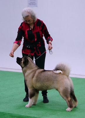 American Akita AMFASHION PRINCESS LEIA