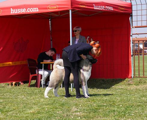 #puppiesavailable #newakitalitter #dogforshow #kennelakita #dogshow # worlddogshow #NDS #FCI-dogs #pedigree #akitabreeder #almightykennel #dogphoto #bestdogsphoto