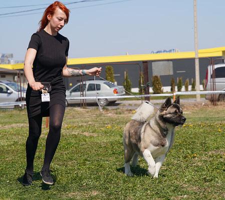 Американская акита на выставке собак