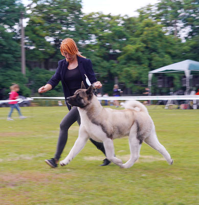 American Akita   INDEVOR CENTER OF ATTENTION  3 CAC, 3 Best Male, 2 BOS, BOB!!