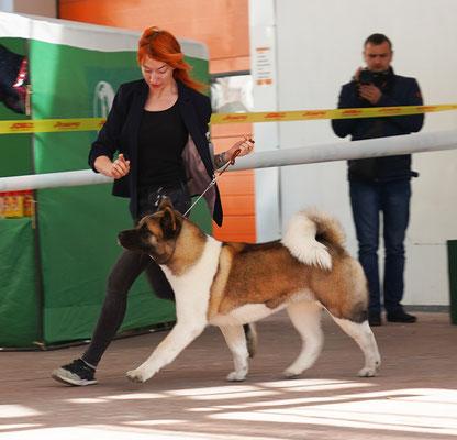 Американская акита SIBERIAN HUNTER DAISY-BEAUTY - сертификатная выставка собак