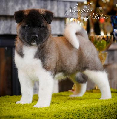 American akita Puppy, 6 weeks