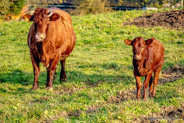 Rotes Höhenvieh - Einst in der Oberpfalz zuhause und fast ausgestorben - Wir erhalten diese historische Rinder-Rasse
