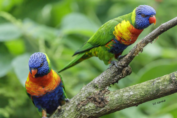 Rainbow lorikeet 2