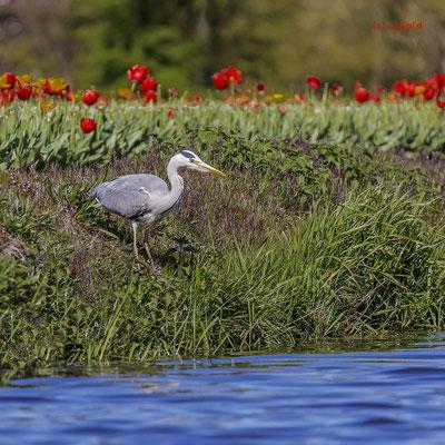 Blue heron, Keukenhof