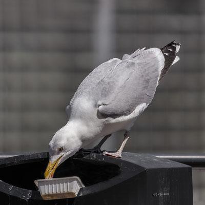 Seagull-2, Rotterdam