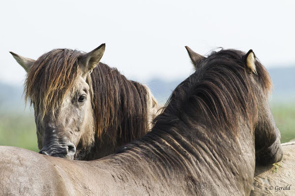 Koniks horses grooming