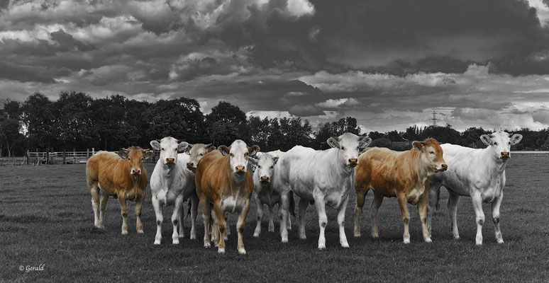 Double-Muscled cow's