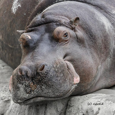 Hippo, chilling