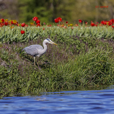 Grey heron in tulip field