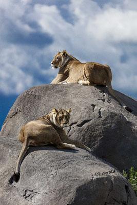 Lionesses, Wildlands Emmen