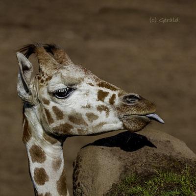 Giraffe, Wildlands Emmen