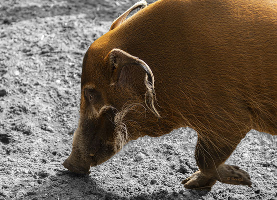 Red river hog / Penseel zwijn