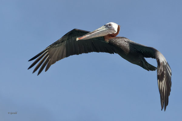 Brown Pelican, Aruba