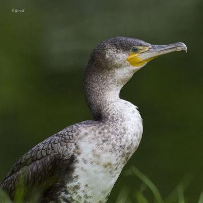Cormorant, Apeldoorn