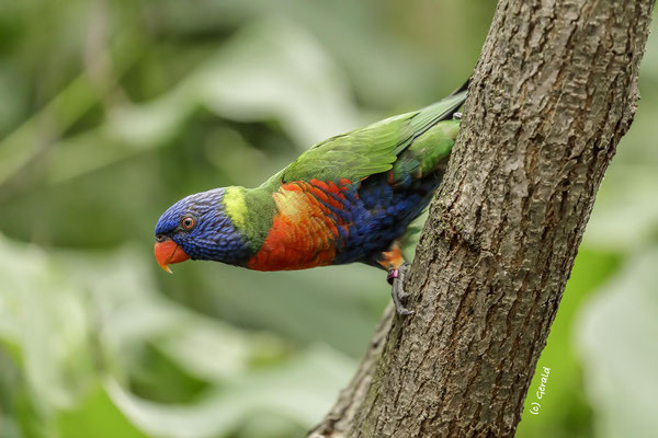 Parrot (lori) from Blue Mountains