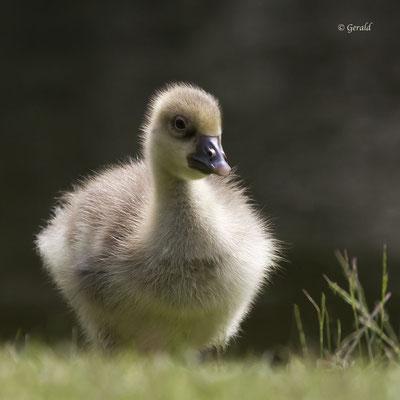 Chick greylag goose