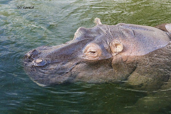 Hippo, floating like a feather