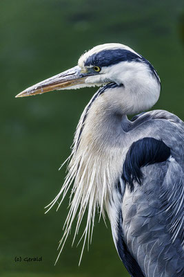 Blue heron, Wildlands, Emmen