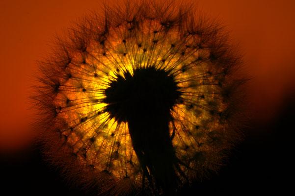 Sonnenuntergang durch die Blume