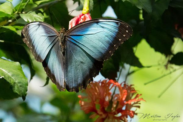 Morpho Peleides / Blauer Morphofalter